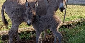 L'asinella nata all'opedale veterinario dell'Università di Sassari